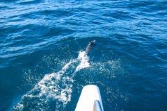 Дельфины Мадейры Стоковые Фото