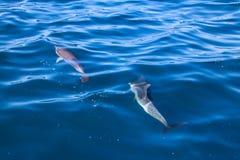 Дельфины Мадейры Стоковые Изображения