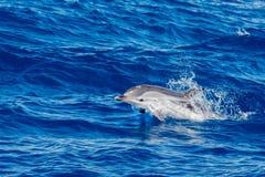 Дельфины пока скачущ в темносинее море Стоковое Фото