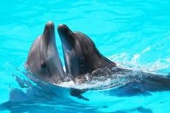 Дельфины плавают в открытом море бассейна Стоковое Фото