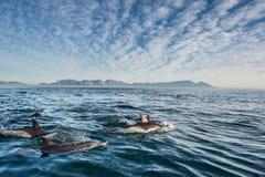 Дельфины, плавая в океане и охотясь для рыб Стоковое фото RF