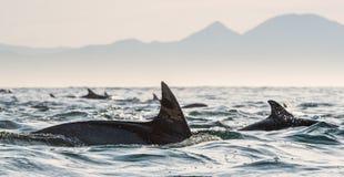Дельфины, плавая в океане и охотясь для рыб Стоковое Изображение RF