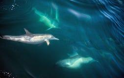 Дельфины, плавая в океане Стоковое Фото