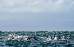 Дельфины, плавая в океане Стоковое Изображение