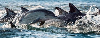 Дельфины, плавая в океане Стоковые Фото