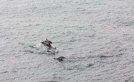 Дельфины скача в море Стоковое Изображение RF