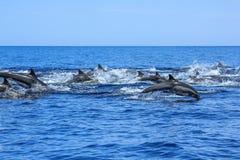 Дельфины скача Мексика Стоковая Фотография RF