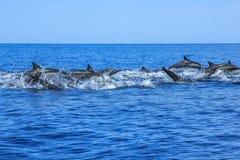Дельфины скача Мексика Стоковое Изображение RF