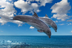 Дельфины скача на море стоковые изображения rf