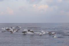 Дельфины следуют стадо рыб на заходе солнца Стоковые Изображения