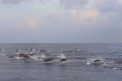 Дельфины следуют стадо рыб на заходе солнца Стоковое Изображение