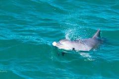 Дельфины mia обезьяны около берега Стоковые Изображения
