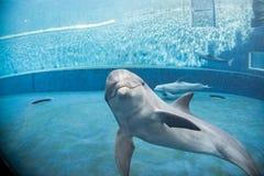 Дельфин аквариума подводный смотрящ вас Стоковая Фотография RF
