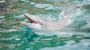 Дельфин в бассейне в Мексике Стоковые Изображения RF