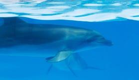 Дельфин в воде Стоковая Фотография