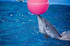 Дельфин в дельфине играет с шариком стоковое фото