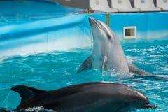 Дельфин в игре в пул Стоковое Изображение