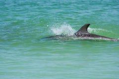 Дельфин в мелководье Стоковые Изображения RF
