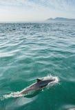 Дельфин в океане Стоковое Изображение RF