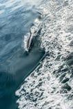 Дельфин в океане Стоковое фото RF