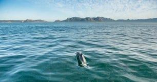 Дельфин заплывания в океане и звероловство для рыб Стоковое фото RF