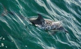 Дельфин заплывания в океане Стоковые Фото