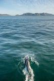 Дельфин заплывания в океане Стоковое Изображение RF