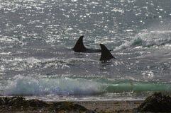 Дельфин-касатка, косатка, Стоковое Изображение RF