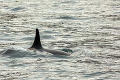 Дельфин-касатка - косатка Orcinus в Тихом океане Водное пространство около Камчатского полуострова Стоковое Фото