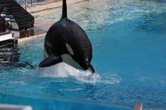 Дельфин-касатка (косатка Orcinus) Стоковое Изображение RF