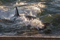 Дельфин-касатка, Патагония ареальных стоковая фотография