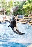 Дельфин-касатка скача вне от воды (косатки Orcinus) Стоковые Изображения RF