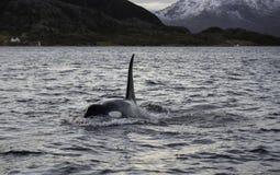 Дельфин-касатка скача вне от воды (косатки Orcinus) Стоковое Изображение