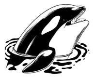 Дельфин-касатка скача вне от воды (косатки Orcinus) иллюстрация штока
