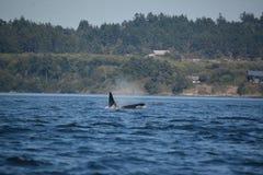 Дельфин-касатка скача вне от воды (косатки Orcinus) стоковая фотография