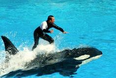 Дельфин-касатка Стоковое Изображение