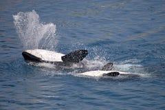 Дельфин-касатки на задней части Стоковое Изображение
