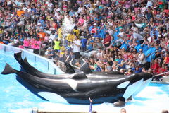 Дельфин-касатки Стоковое Фото