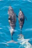 Дельфин матери и икры Стоковые Изображения