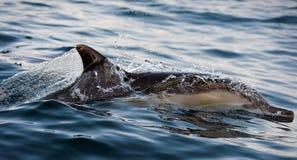 Дельфин приходит вверх от воды. Стоковое Изображение RF