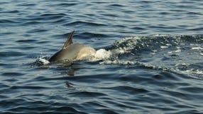 Дельфин, плавая в океане и охотясь для рыб Стоковое Фото