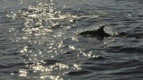 Дельфин, плавая в океане и охотясь для рыб Стоковое фото RF