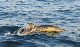Дельфин, плавая в океане и охотясь для рыб Jumpi Стоковые Фото