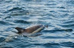 Дельфин, плавая в океане и охотясь для рыб Jumpin Стоковая Фотография