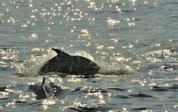Дельфин, плавая в океане и охотясь для рыб Jumpin Стоковое Изображение