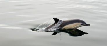 Дельфин, плавая в океане Стоковые Изображения RF