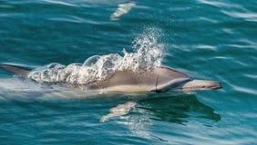 Дельфин, плавая в океане Стоковое фото RF