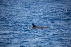 Дельфин плавая самостоятельно в море, наблюдать дельфина Стоковое Изображение