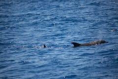 Дельфин плавая самостоятельно в море, наблюдать дельфина Стоковые Изображения