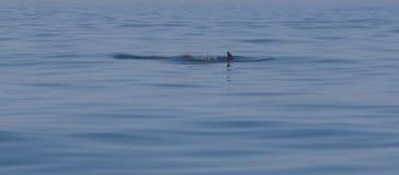 Дельфин ребра в море Стоковая Фотография